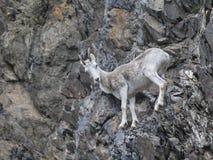 Πρόβατα Αλάσκα Dall Στοκ εικόνες με δικαίωμα ελεύθερης χρήσης