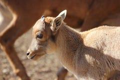Πρόβατα Βαρβαρίας μωρών, Aoudad Στοκ Φωτογραφία