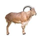 Πρόβατα Βαρβαρίας που απομονώνονται Στοκ Φωτογραφίες