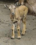 Πρόβατα Βαρβαρίας στην αιχμαλωσία - νεαρός Στοκ Εικόνες
