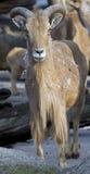 Πρόβατα 3 Βαρβαρίας Στοκ Εικόνες