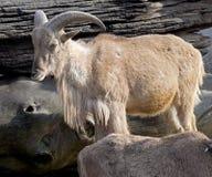 Πρόβατα 4 Βαρβαρίας Στοκ Εικόνες