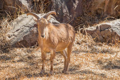 Πρόβατα Βαρβαρίας Στοκ Εικόνα