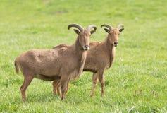 Πρόβατα Βαρβαρίας Στοκ εικόνα με δικαίωμα ελεύθερης χρήσης