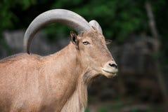 Πρόβατα Βαρβαρίας Στοκ φωτογραφίες με δικαίωμα ελεύθερης χρήσης