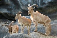 Πρόβατα Βαρβαρίας Στοκ Εικόνες