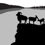 Πρόβατα Βαρβαρίας Στοκ εικόνες με δικαίωμα ελεύθερης χρήσης