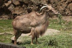 Πρόβατα & x28 Βαρβαρίας Ammotragus lervia& x29  Στοκ φωτογραφία με δικαίωμα ελεύθερης χρήσης