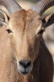 Πρόβατα Βαρβαρίας, Aoudad Στοκ φωτογραφία με δικαίωμα ελεύθερης χρήσης