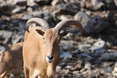 Πρόβατα Βαρβαρίας, Aoudad Στοκ εικόνα με δικαίωμα ελεύθερης χρήσης