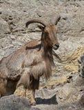 Πρόβατα Βαρβαρίας lervia Ammotragus σε έναν βράχο Στοκ εικόνες με δικαίωμα ελεύθερης χρήσης