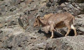 Πρόβατα Βαρβαρίας lervia Ammotragus σε έναν βράχο Στοκ Εικόνες