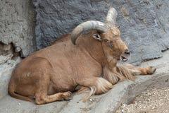 Πρόβατα Βαρβαρίας (lervia Ammotragus) Στοκ Εικόνα