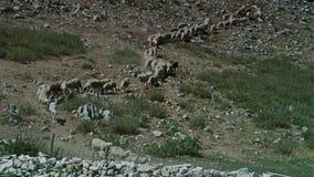 πρόβατα βουνών κοπαδιών ανασκόπησης φιλμ μικρού μήκους