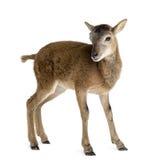 πρόβατα βουνών ορών Στοκ φωτογραφία με δικαίωμα ελεύθερης χρήσης
