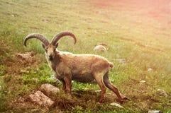 Πρόβατα βουνών στα βουνά Στοκ εικόνα με δικαίωμα ελεύθερης χρήσης