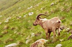 Πρόβατα βουνών στα βουνά Στοκ Φωτογραφίες