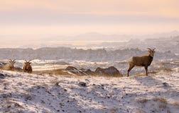 Πρόβατα βουνών στα badlands Στοκ Εικόνες