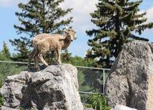 Πρόβατα βουνών στους βράχους έτοιμους να πηδήσουν Στοκ Φωτογραφία
