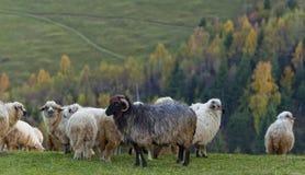 πρόβατα βουνών φθινοπώρου Στοκ φωτογραφία με δικαίωμα ελεύθερης χρήσης