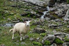 Πρόβατα βουνών Στοκ Εικόνες