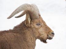 Πρόβατα βουνών Στοκ Φωτογραφία