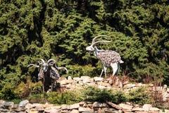 Πρόβατα βουνών Στοκ Φωτογραφίες