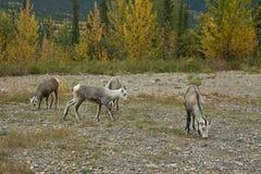 Πρόβατα βουνών Thinhorn στην άκρη του δρόμου, βόρεια Π.Χ. Στοκ εικόνες με δικαίωμα ελεύθερης χρήσης