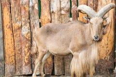 Πρόβατα βόρειας αφρικανικά Βαρβαρίας Στοκ εικόνα με δικαίωμα ελεύθερης χρήσης
