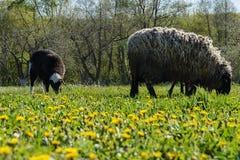 Πρόβατα για έναν περίπατο Στοκ Φωτογραφίες