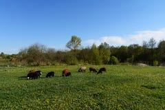 Πρόβατα για έναν περίπατο Στοκ φωτογραφία με δικαίωμα ελεύθερης χρήσης