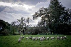Πρόβατα για τη βοσκή Στοκ Εικόνα