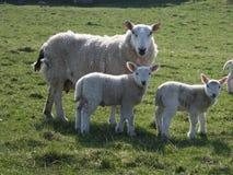 πρόβατα δύο αρνιών Στοκ Φωτογραφία
