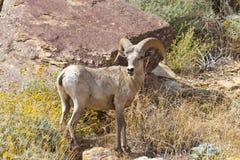 πρόβατα ερήμων borrego anza bighorn Στοκ Εικόνες