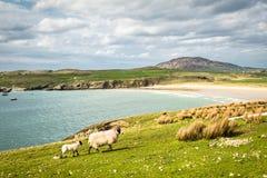 Πρόβατα θαλασσίως στοκ εικόνα