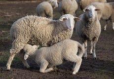 Πρόβατα θηλαζόντων νεογνών αρνιών Στοκ φωτογραφία με δικαίωμα ελεύθερης χρήσης