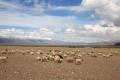 πρόβατα Θιβέτ Στοκ εικόνες με δικαίωμα ελεύθερης χρήσης
