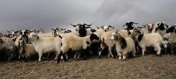 πρόβατα Θιβετιανός βουνών Στοκ φωτογραφία με δικαίωμα ελεύθερης χρήσης