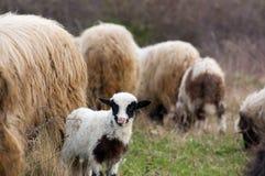 πρόβατα λιβαδιού αρνιών Στοκ φωτογραφίες με δικαίωμα ελεύθερης χρήσης