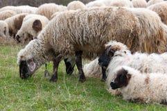 πρόβατα λιβαδιού αρνιών Στοκ εικόνες με δικαίωμα ελεύθερης χρήσης
