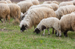 πρόβατα λιβαδιού αρνιών Στοκ Εικόνες