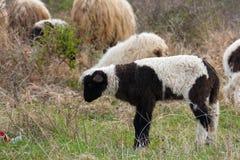 πρόβατα λιβαδιού αρνιών Στοκ Φωτογραφία