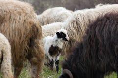 πρόβατα λιβαδιού αρνιών Στοκ Φωτογραφίες