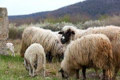 πρόβατα λιβαδιού αρνιών Στοκ φωτογραφία με δικαίωμα ελεύθερης χρήσης