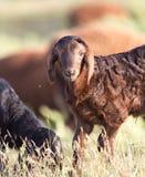 πρόβατα λιβαδιού Στοκ εικόνες με δικαίωμα ελεύθερης χρήσης