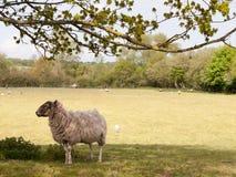 Πρόβατα κάτω από ένα χαριτωμένο και χνουδωτό λευκό δέντρων την άνοιξη Στοκ Εικόνα