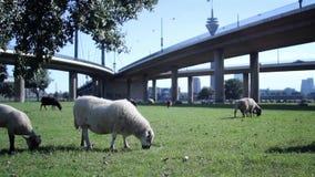 Πρόβατα κάτω από τη γέφυρα απόθεμα βίντεο