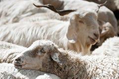 Πρόβατα και άσπρη αίγα του Κασμίρ Στοκ εικόνες με δικαίωμα ελεύθερης χρήσης