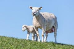 Πρόβατα και λίγο αρνί στον ολλανδικό τομέα Στοκ φωτογραφία με δικαίωμα ελεύθερης χρήσης