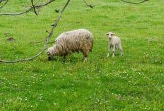 Πρόβατα και αρνί Στοκ Φωτογραφίες